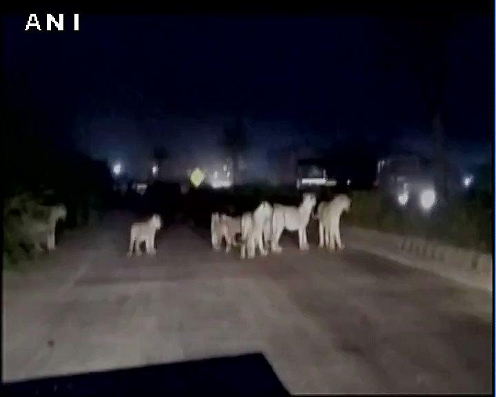 #WATCH Traffic halts on Pipavav-Rajula highway in Gujarat as pride of lions cross the road.