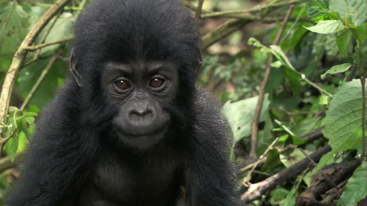 In honor of #WorldGorillaDay, take a look inside this recovery facility for orphaned primates in Cameroon https://t.co/cgumWxVbbt