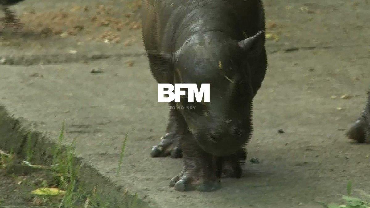 Ce bébé hippopotame fait ses premiers pas au zoo de Wroclaw en Pologne