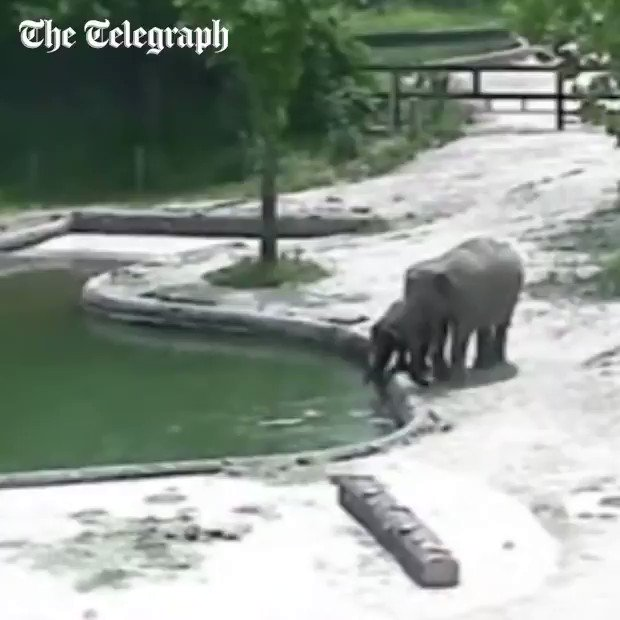 This elephant family springs into action when they spot their calf drowning