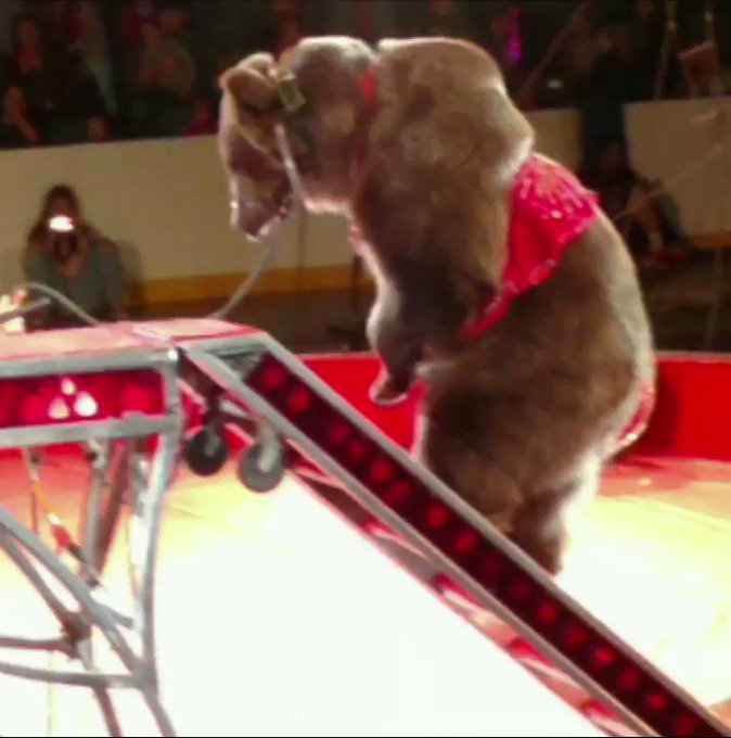 All of this happens to animals used in the circus — this bear was so distressed she urinated on herself 💔