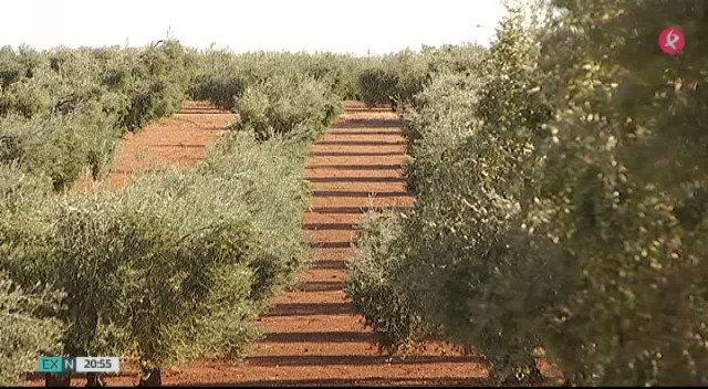 La falta de agua hace estragos en el olivo y la aceituna de mesa.La producción será menor y el fruto no será lo suficientemente grande. #EXN https://t.co/eJAKQCF5X5