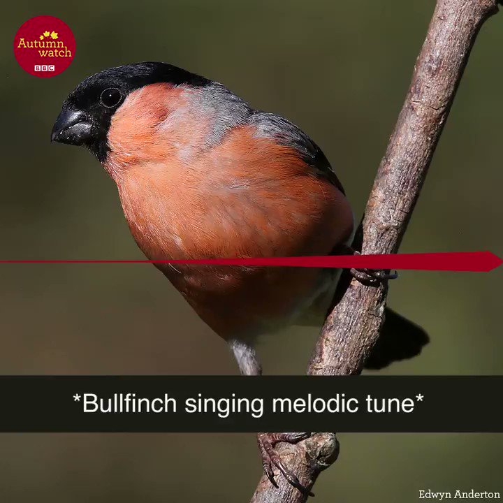 The talents of a bullfinch are surprisin...