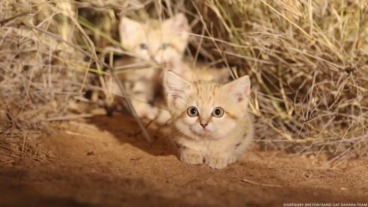 サハラ砂漠で見かけた推定生後6~8週間のスナネコ。毛色は保護色で見分けにくいので、映像に記録されたのは初めてとされる。