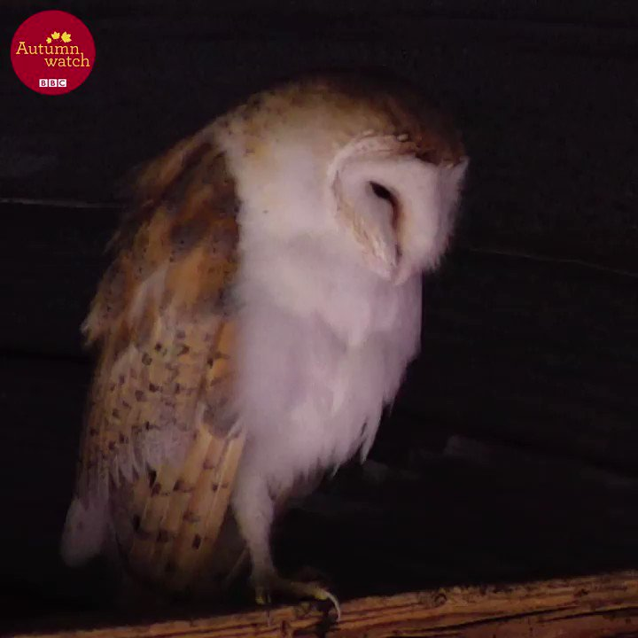 Today on the wildlife cameras - sleepy barn owl yoga, a bird table fea...