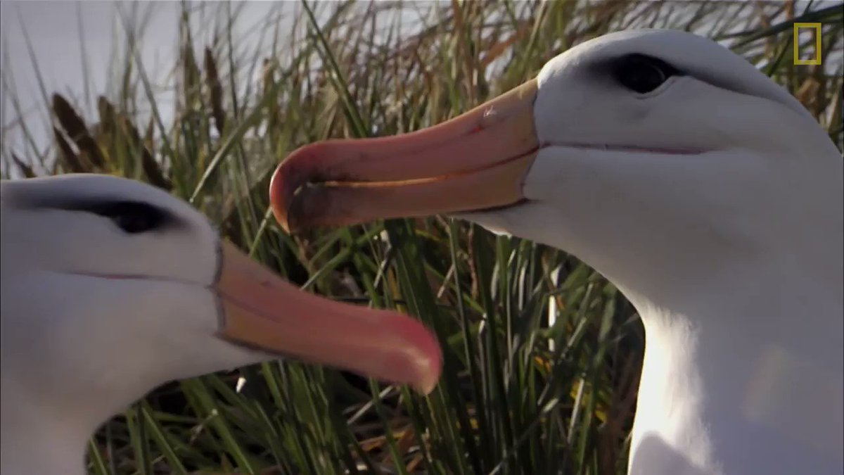The bonds between albatrosses can last decades, and every year they return to this colony https://t.co/K54g7KAZDw