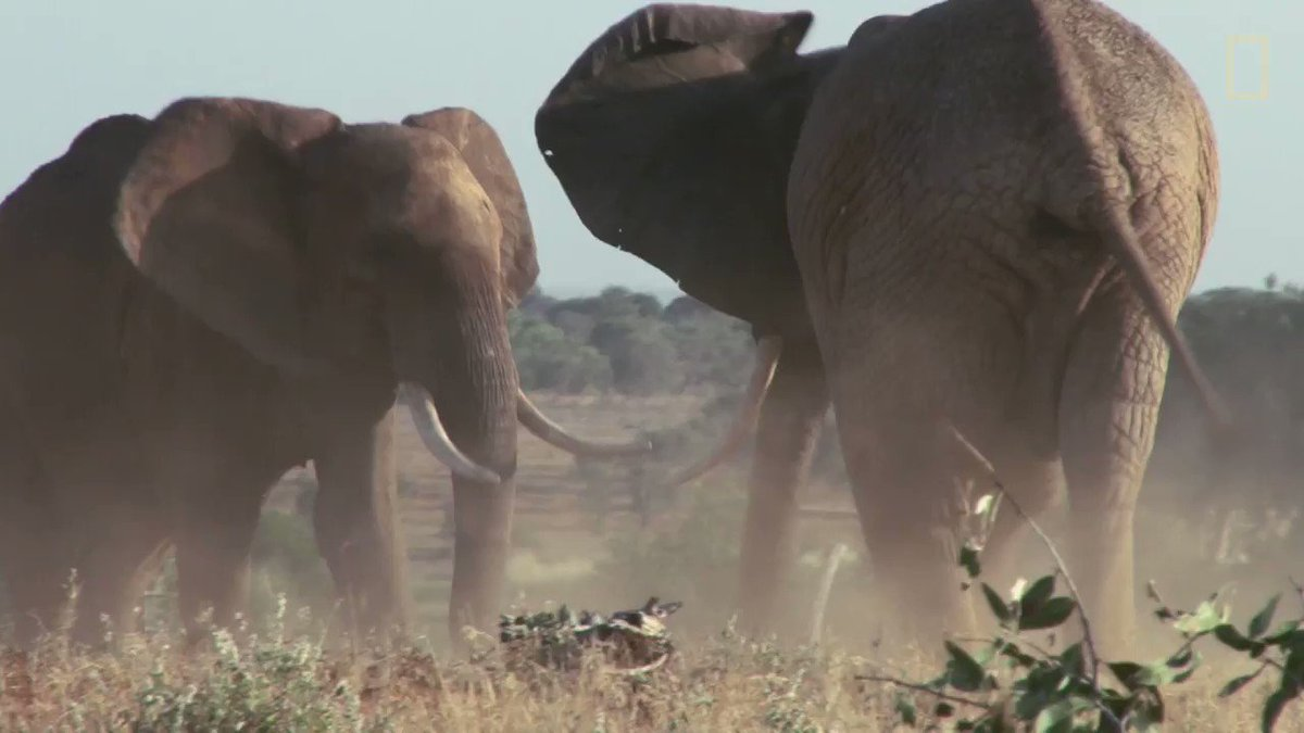 During mating season, male elephants are amped up on 50 times their testosterone level—filling them with rage https://t.co/J0mieTsoqv