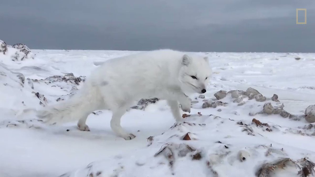 Arctic foxes don't usually get this close to humans, but this one was feeling brave https://t.co/rbGZpLhkyI