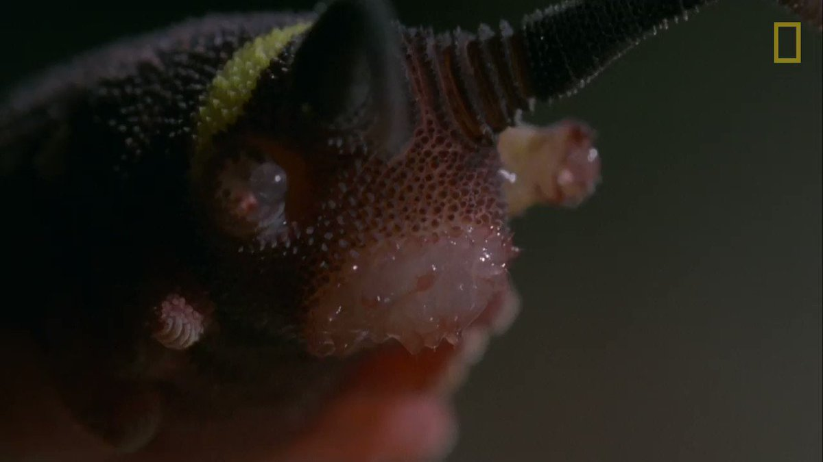 Meet the velvet worm, a nearly blind creature with an impressive weapon