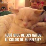 RT @Muy_Mascotas: ¿Tu #gato cumple con las caracte...