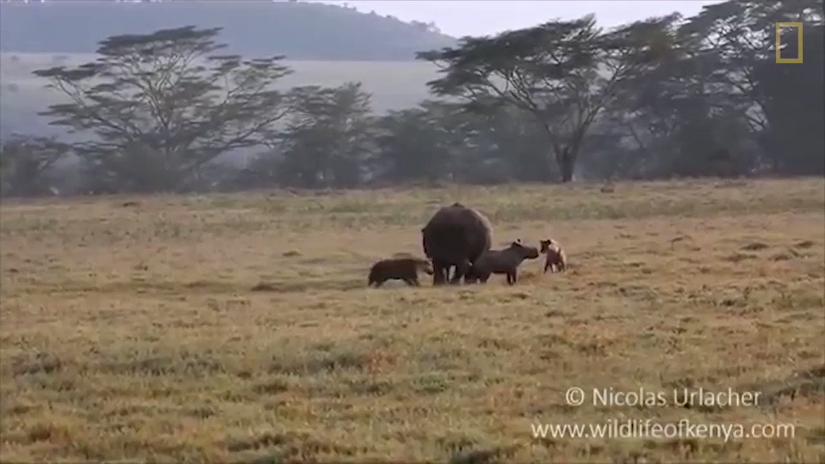 It's never a good idea to mess with a rhino mom