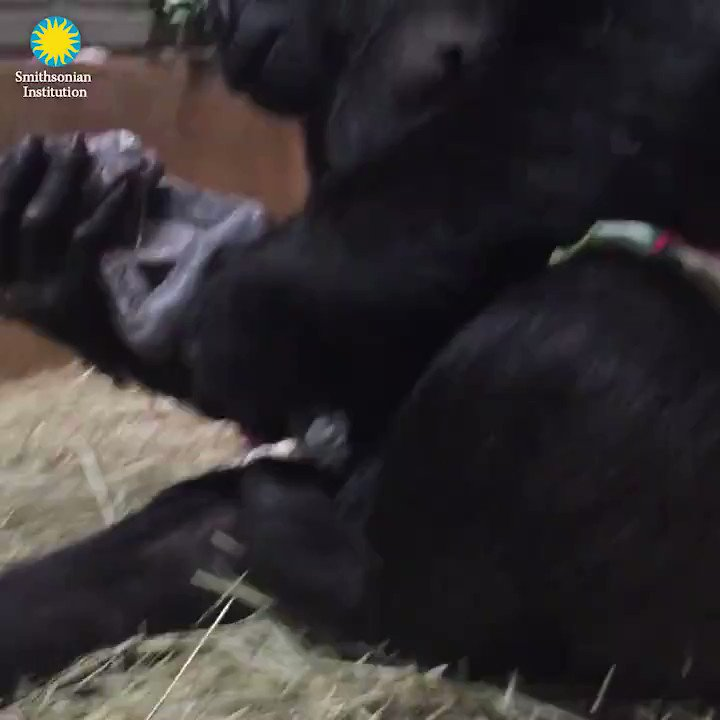 Moms give the best kisses. The @NationalZoo  announced the birth of a baby #gorilla named Moke. bit.ly/2HHIjRq