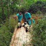 癒されるひたすらかわいい動画はこちら!パンダの赤ちゃんの姿が可愛すぎて癒されるw