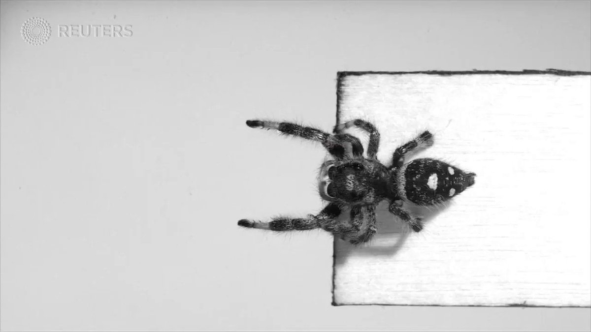 WATCH: UK scientists train a predatory spider how to jump on demand https://t.co/qDLxN1G52r