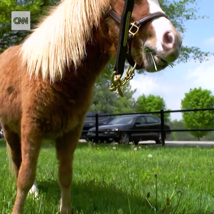 Meet Kentucky Chrome, the little pony with a big bag of tricks https://t.co/hDlRFOBDc9 https://t.co/HplA78EtrB