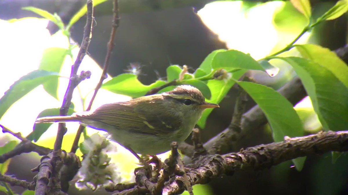 This CLAUDIAS LEAF WARBLER at Lingshan shows off its alternate wing-flicking display, unique among the Phylloscopus warblers (helpful when they almost all look the same!). The sound is a second bird close by.