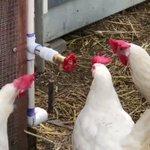 『どうした!なんか言えよ』蛇口を仲間だと勘違いする鶏の集団が可愛い
