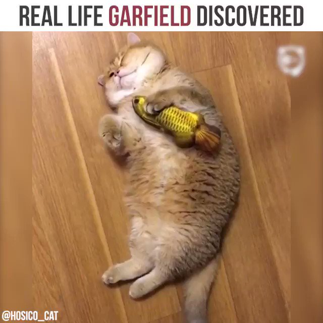 Bored Panda On Twitter Real Life Garfield Discovered Cat Credit Hosico Cat Https T Co Jqrrm9eizg