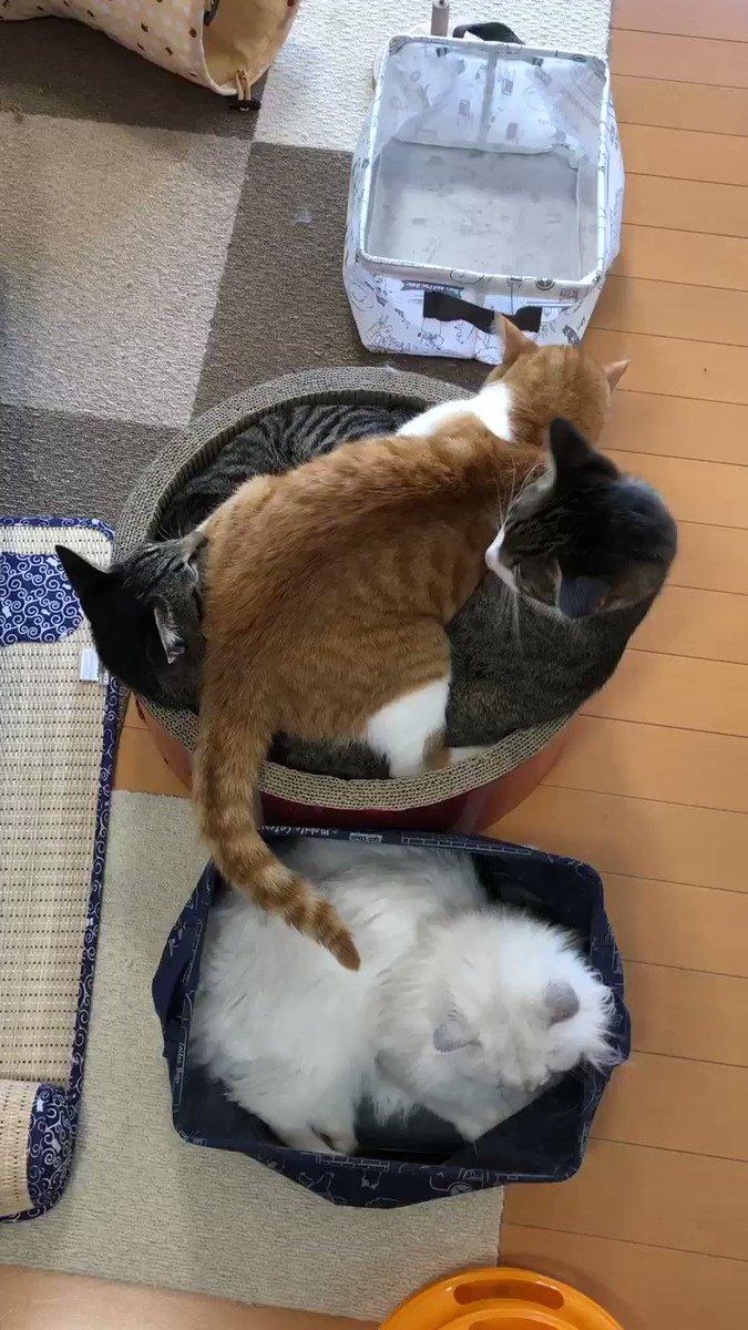 はいはーい失礼しまーす( ˘ω˘ )  #福井 #猫カフェ #猫カフェ福ねこ #福ねこ #きなこちゃん #あずきくん #よもぎくん