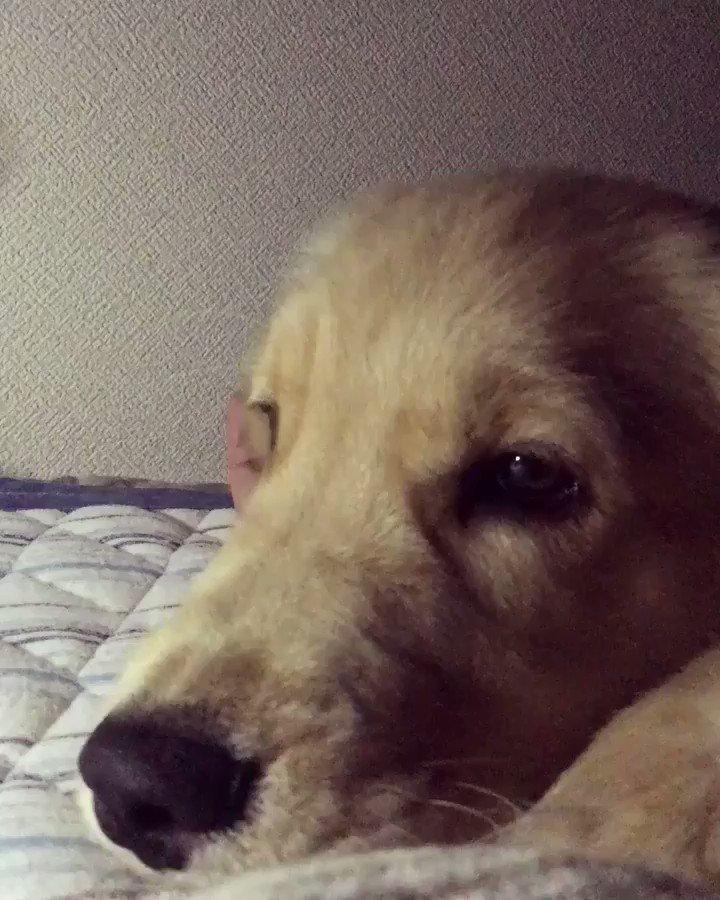 今週から3階の寝室解禁、一緒に寝てもいいことになったコメさん。嬉しくてしばらく手ハムハムしたり足にじゃれついてきたり落ち着かず(私も嬉しい)。やがて足元に寝てくれました。 久々に犬と一緒に寝る幸せ感じました