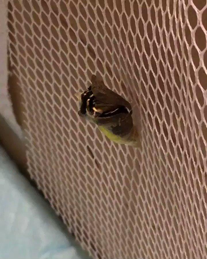 8号、無事羽化しましたー!! わー、見れて良かったー。 羽根あんなに小さくなってんのかー! 声を出さずに大興奮😆  #ナミアゲハ