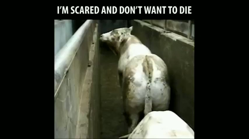 Animals dont go willingly to the slaughterhouse; they fight for their lives up until the last second. 🎥 @theHumaneLeague 🐄 #NationalItalianCheeseMonth #ItalianCheeseMonth 🧀