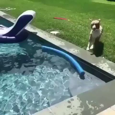 飼い主が溺れていると勘違いして助けに行くワンコ