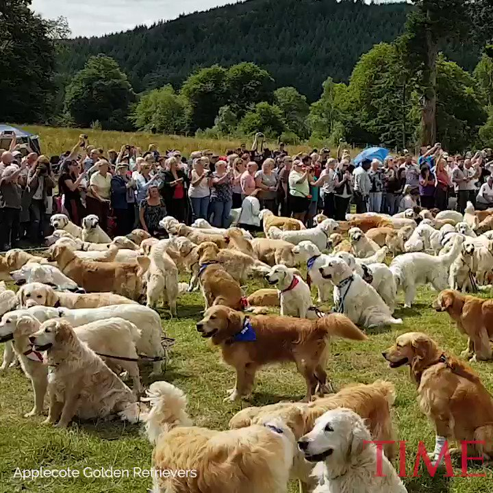 361 golden retrievers broke a world record with the biggest gathering of the breed
