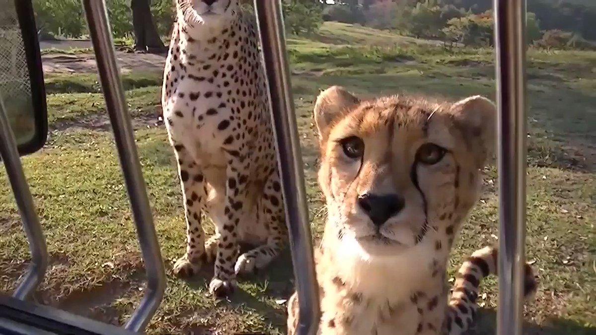 Красавицах прикольные, смешные картинки видео про животных до слез смотреть онлайн