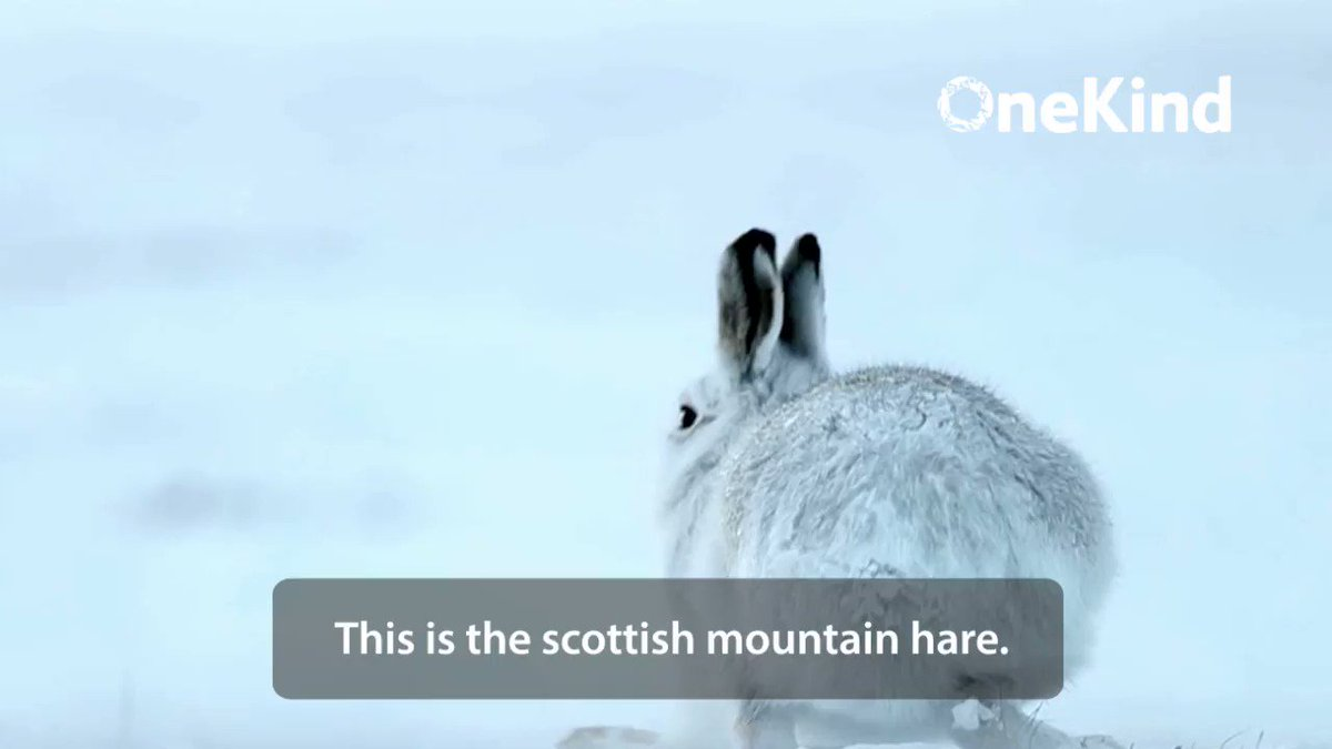 Scotlands mountain hare population in Eastern Highlands is at 1% of 1950s level: Meanwhile Mountain Hare culls continue - Why ? @NicolaSturgeon @strathearnrose #PeoplesWalkforWildlife #CullingNoCulling pic via @onekindtweet