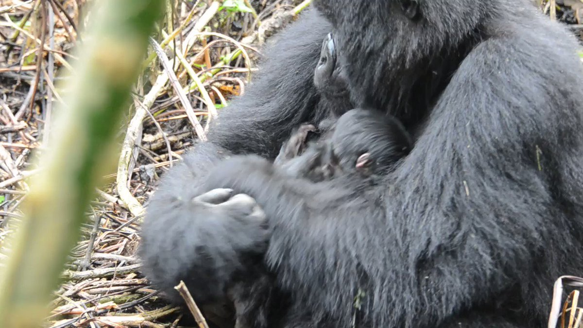 We are delighted to see a newborn in Mafunzos group from female Ubuhamya! The mother Ubuhamya will be nine in September and this is her first infant! 😍 🦍
