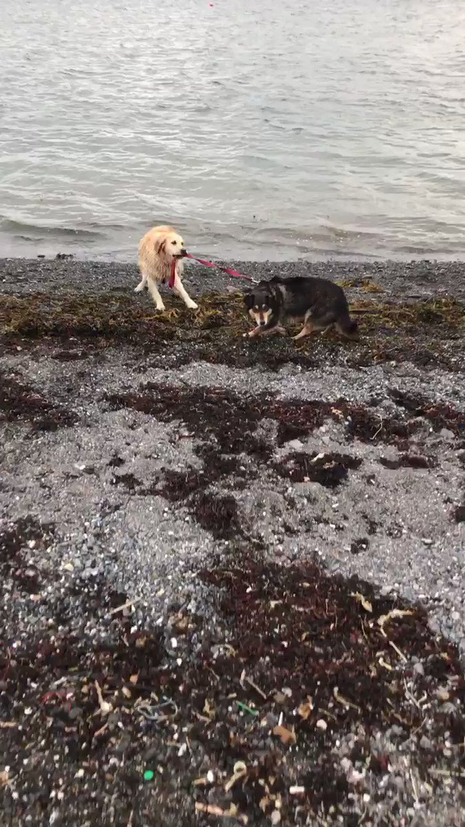 My dog loves to swim. My girlfriends dog hates to swim. This is what play dates look like...