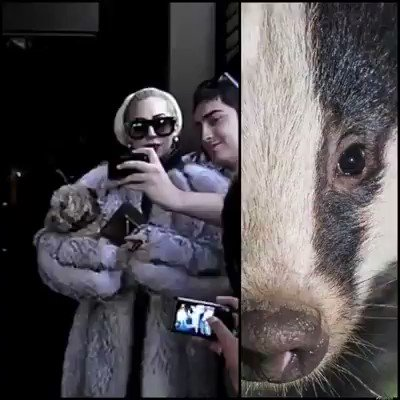 .@JoeBiden I'm sad to learn that .@ladygaga is performing at the inaugural ceremonies. While I campaigned for you...w/ all due respect I'm sitting this one out😢She knows #fur = #Animals are #trapped #skinned while conscious but won't #GoFurFree