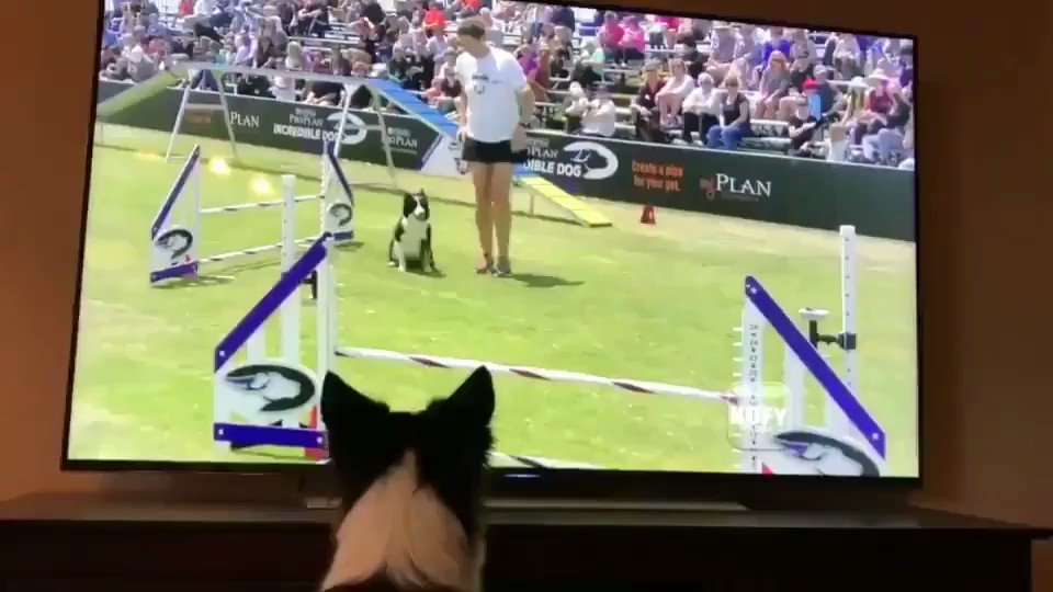 Bless this doggo watching herself win a contest 🙏