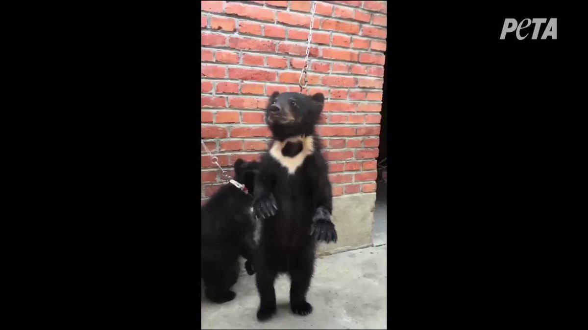 Baby bears belong with their mothers 😢 In China, this is how they're trained for the circus.