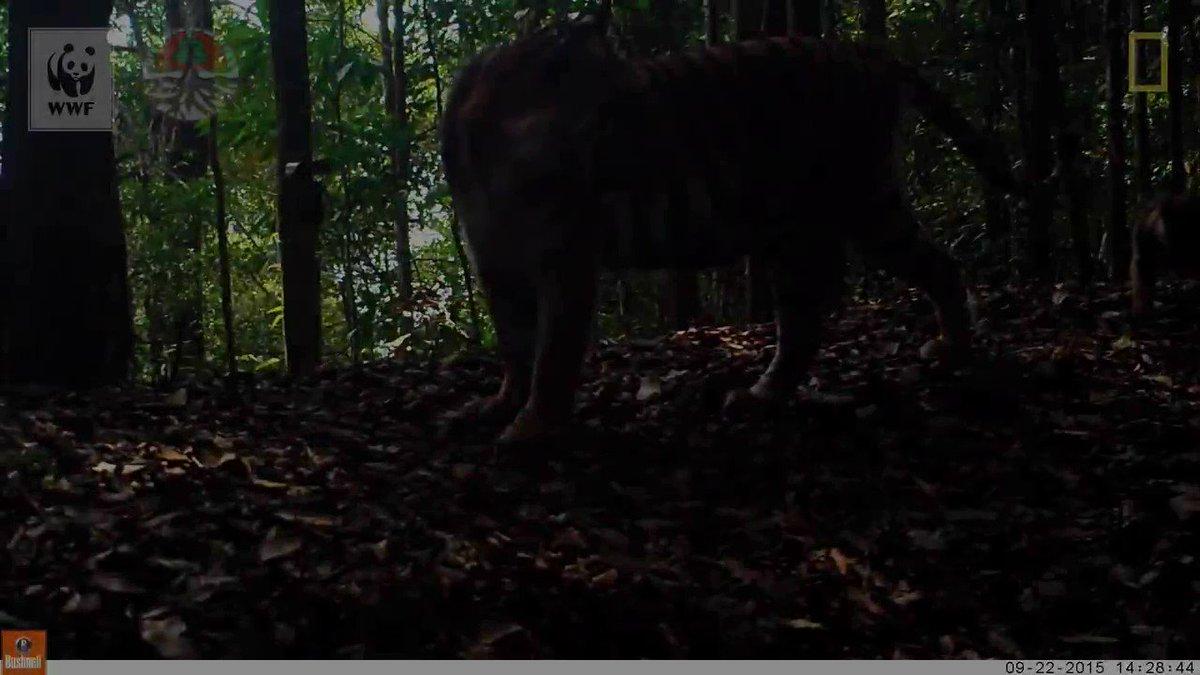 Tigres de Sumatra são capturados por uma câmera. Apenas 400 desses animais estão vivos hoje em dia. #NatGeoVideo https://t.co/aMSPrJcrmf
