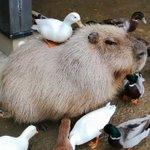 カピバラさんは温厚?アヒルに群れられても心地好い顔!