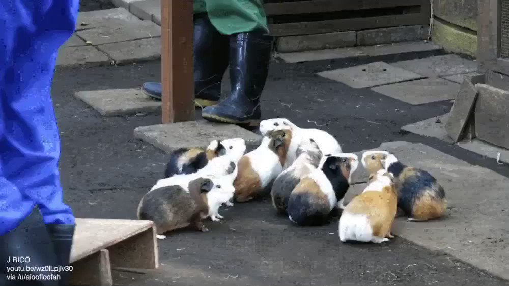 anyway here's a bunch of guinea pigs forming an orderly line and wiggling their way into their pen together https://t.co/JQvAKdi4eJ