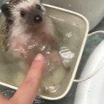 可愛すぎる!「ハリネズミ」の入浴・バタバタさせる手が可愛いい!