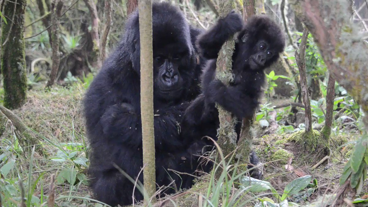 Need some good news to start the week? 7-month-old Umuryango, the youngest of Pablos group, taking his first steps all by himself but still close to mother Ishema. This is an important milestone in the infant development! 😍 🦍 (Video Cedric Ujeneza)