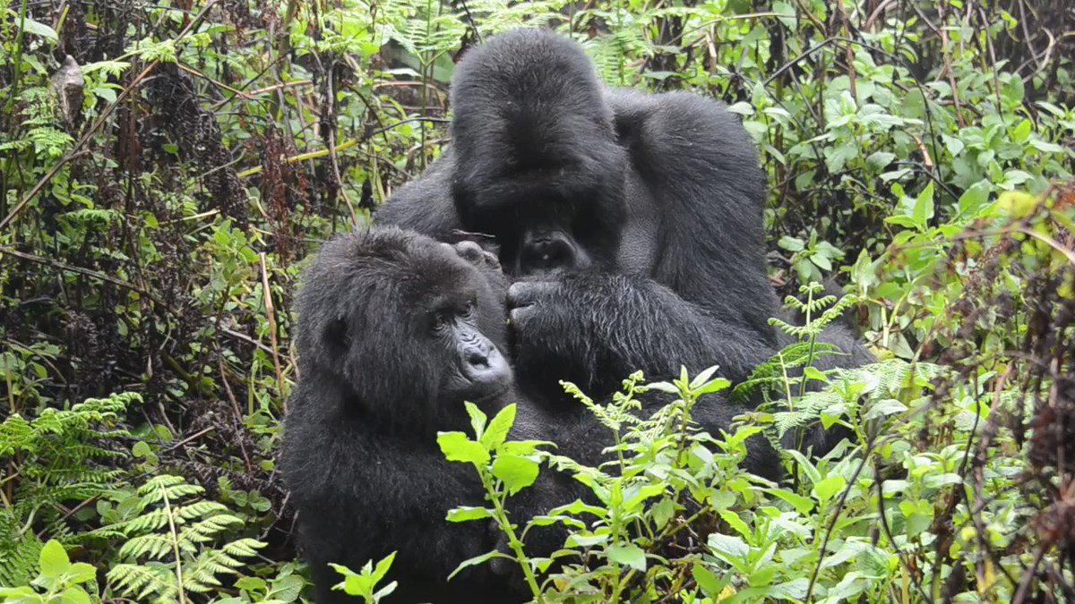 Dominant silverback Pato displays his social bond with female Kurudi by grooming her. Youll notice infant Macibiri tries to interfere to get their attention, but the look Pato gives back is priceless. 🤣 Learn more about why gorillas groom each other: dfgfi.org/2CCcFVC