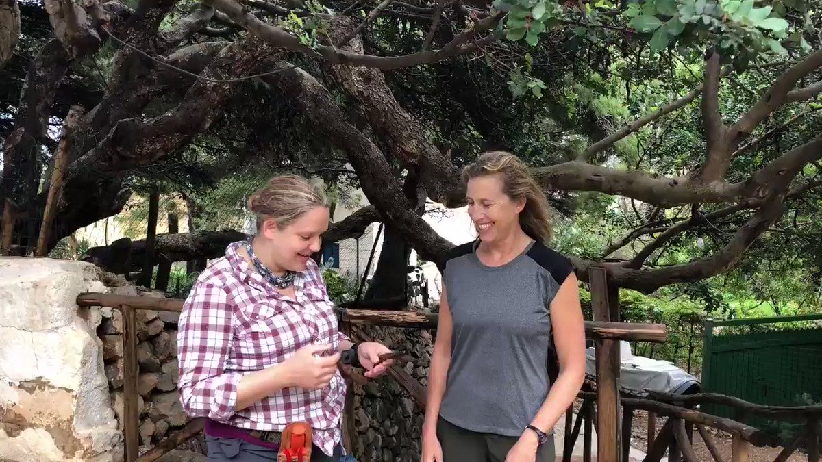 Talking about food & medicinal uses of carob in #Sicily with @MariaFadiman & @Ethnobotanica ! Cerratonia siliqua - #Fabaceae  #wildfood #carob #ExpeditionEgadi #medicinalplants