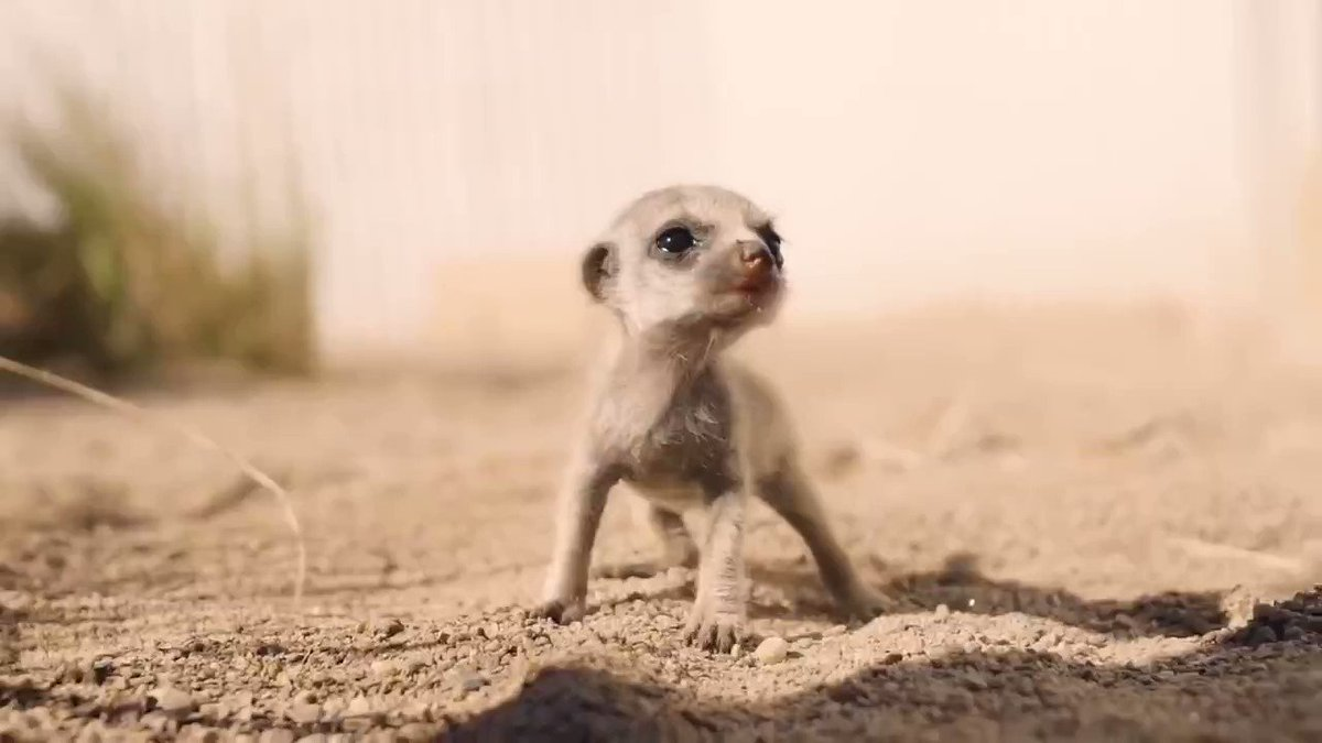 Here are some baby meerkats, because it's Friday and you've earned this: https://t.co/J7H4GGEsZE. https://t.co/DewXUjbS9Q