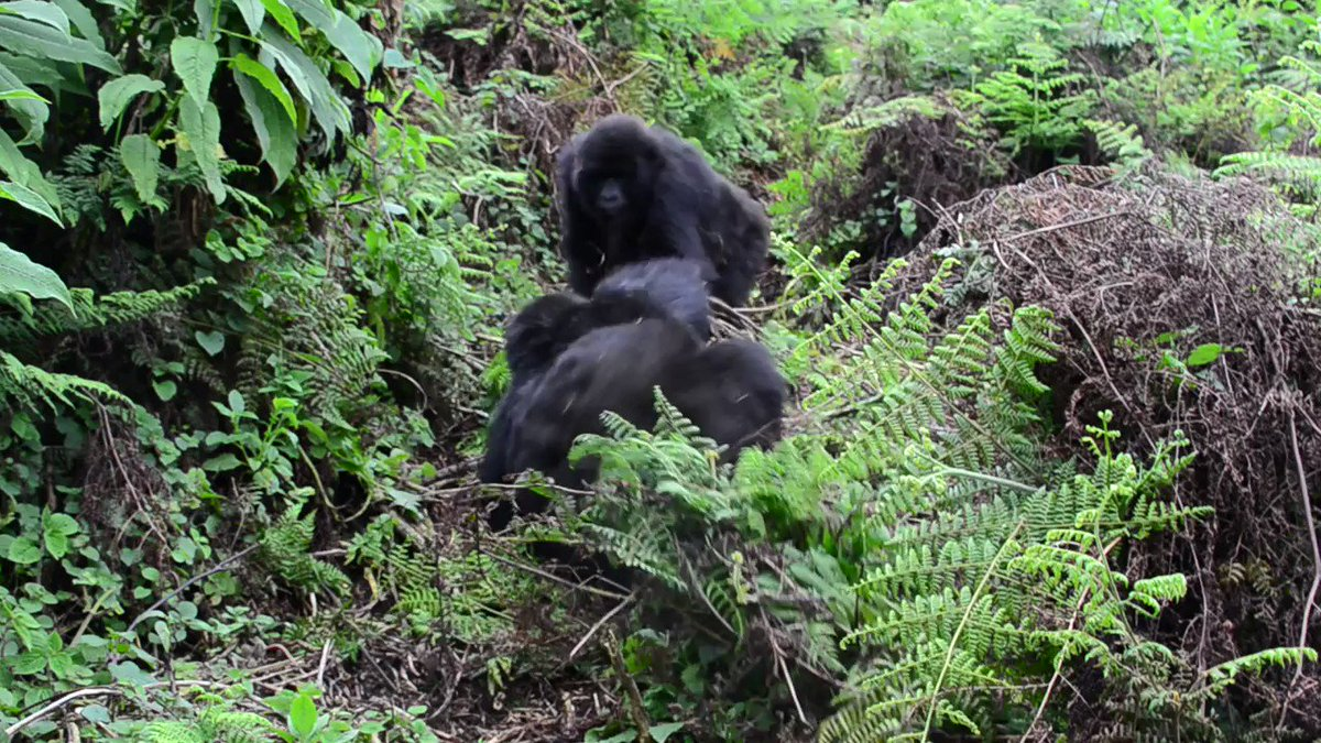 Blackback Umuganda and adult female Urahirwa grew up together in Ntambaras group. They formed a strong bond from an early age as they were born just few months apart. Even though theyve grown up, they still engage in long and rough playing. (Video by Cedric Ujeneza)