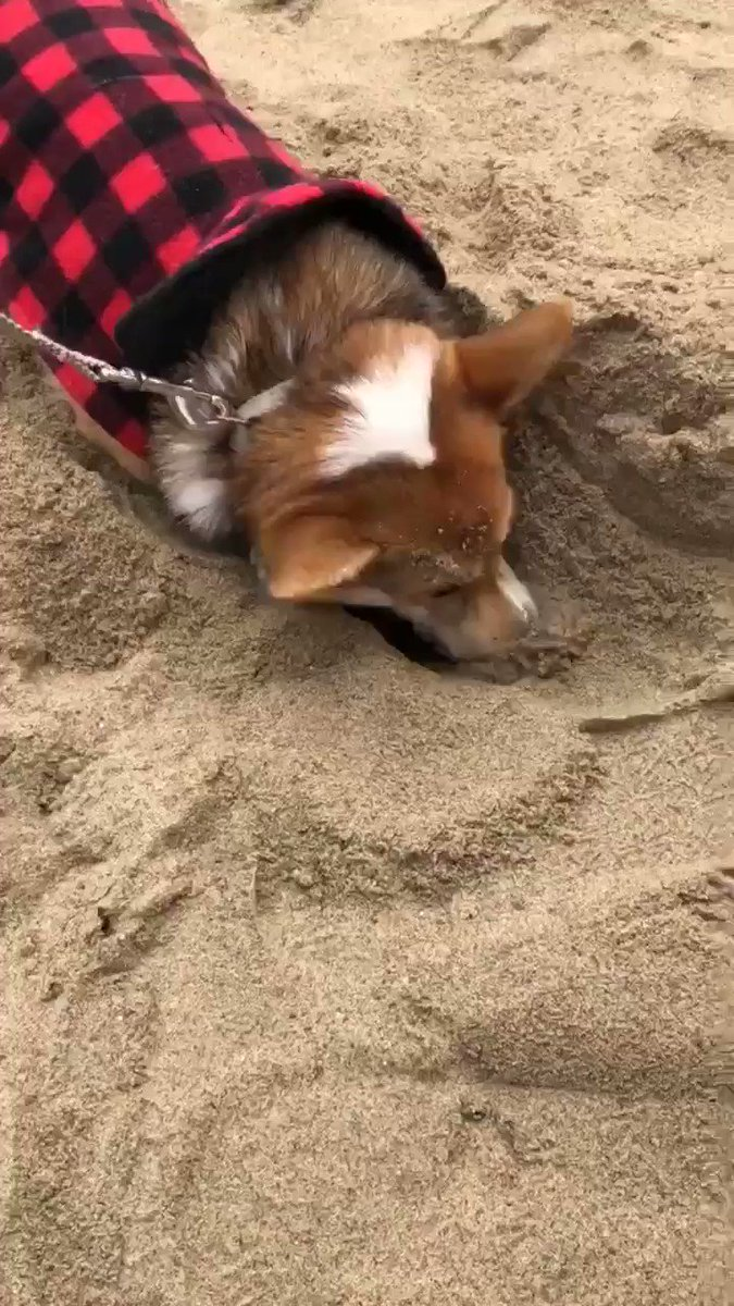 Thank you for another amazing corgi beach day. This one liked to dig. I supported his passion. 14/10
