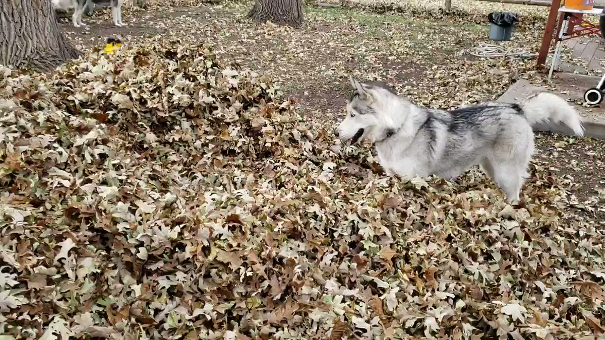 Let this husky playing in fallen leaves be the cure to your autumn blues