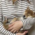 柴犬の可愛すぎる寝顔に癒された!この姿はもはや人間
