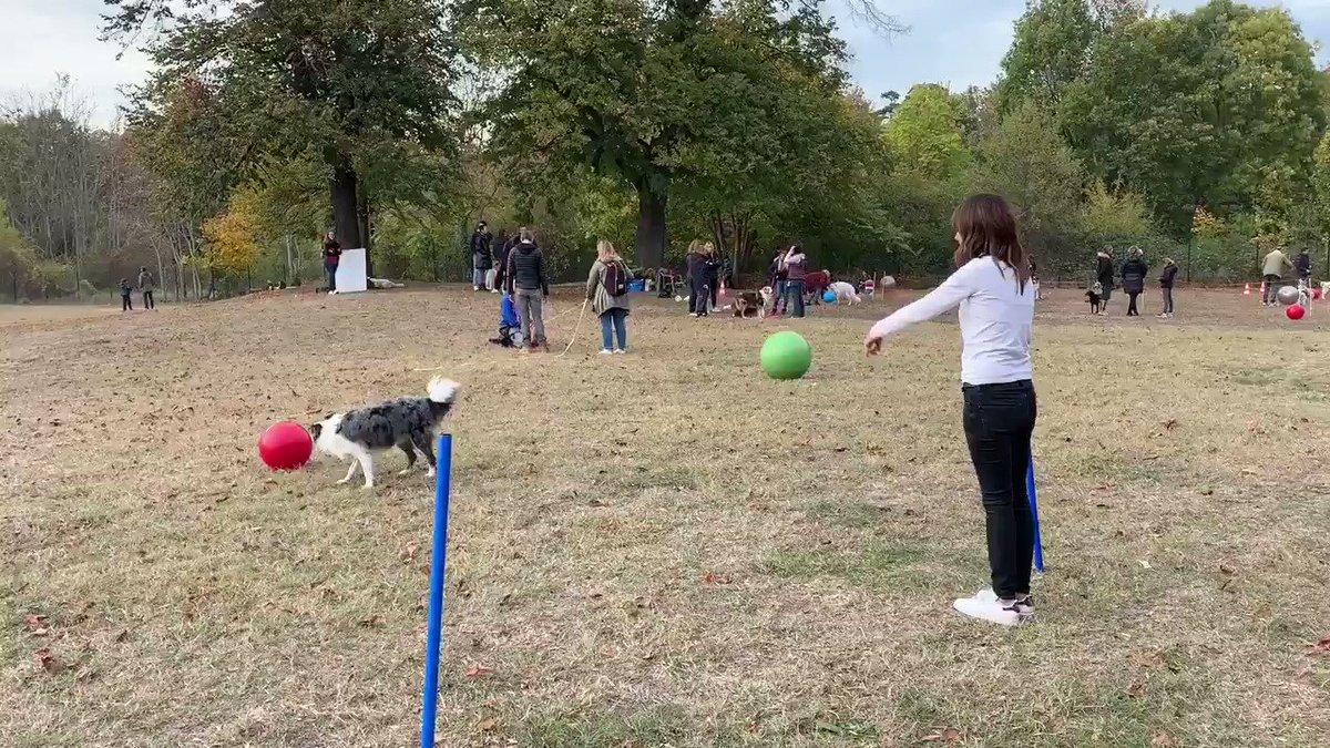 Ce soir #PBSFRA alors dimanche pour ma chronique animaux dans @LaMatinaleLCIWE j'ai testé le Treibball... du foot pour les chiens! Démo en plateau dimanche🐩⚽️🥅 #DidierDeschiens 😜