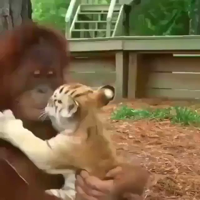 RT @s_um_mer0: 🦍🐯🤗😋☺ #Wildlife #Happyweekend #FelizFinde #HappyFriday #FelizViernes 😋🤗😇🍼 🦍🐯🤗😋☺ https://t.co/KqBRTfH7ZR