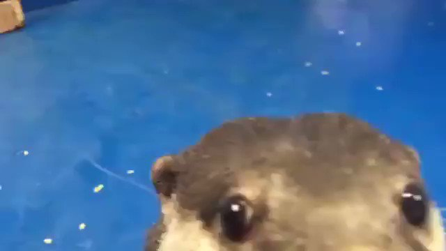 This otter teaching a human how to pet it gets me every time